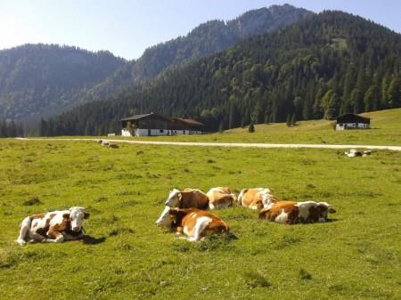 Kühe auf der Röthelmoosalm bei Ruhpolding
